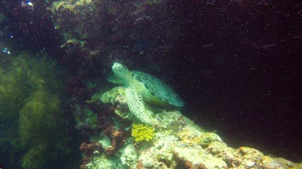 Sea turtle at Sipadan