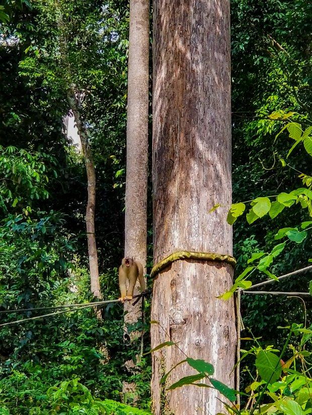 Monkey at Sepilok Orangutan Sanctuary