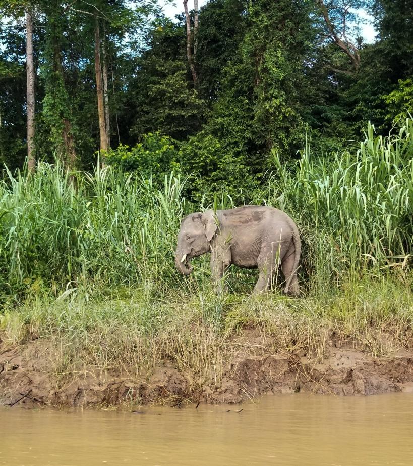 Kinabatangan River Pygmy Elephant