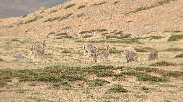 Himalayan Ibex