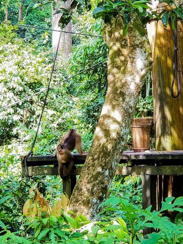 Sepilok Monkey feeding
