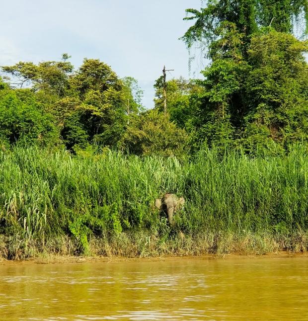 Pygmy elephant at Kinabatangan River