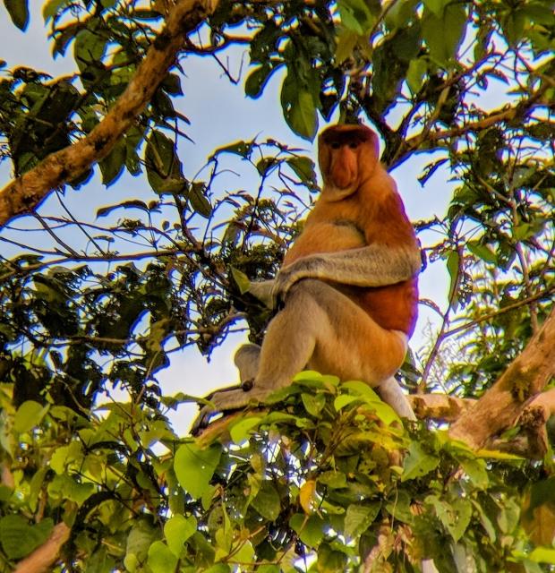 Probiscis monkey male in Borneo