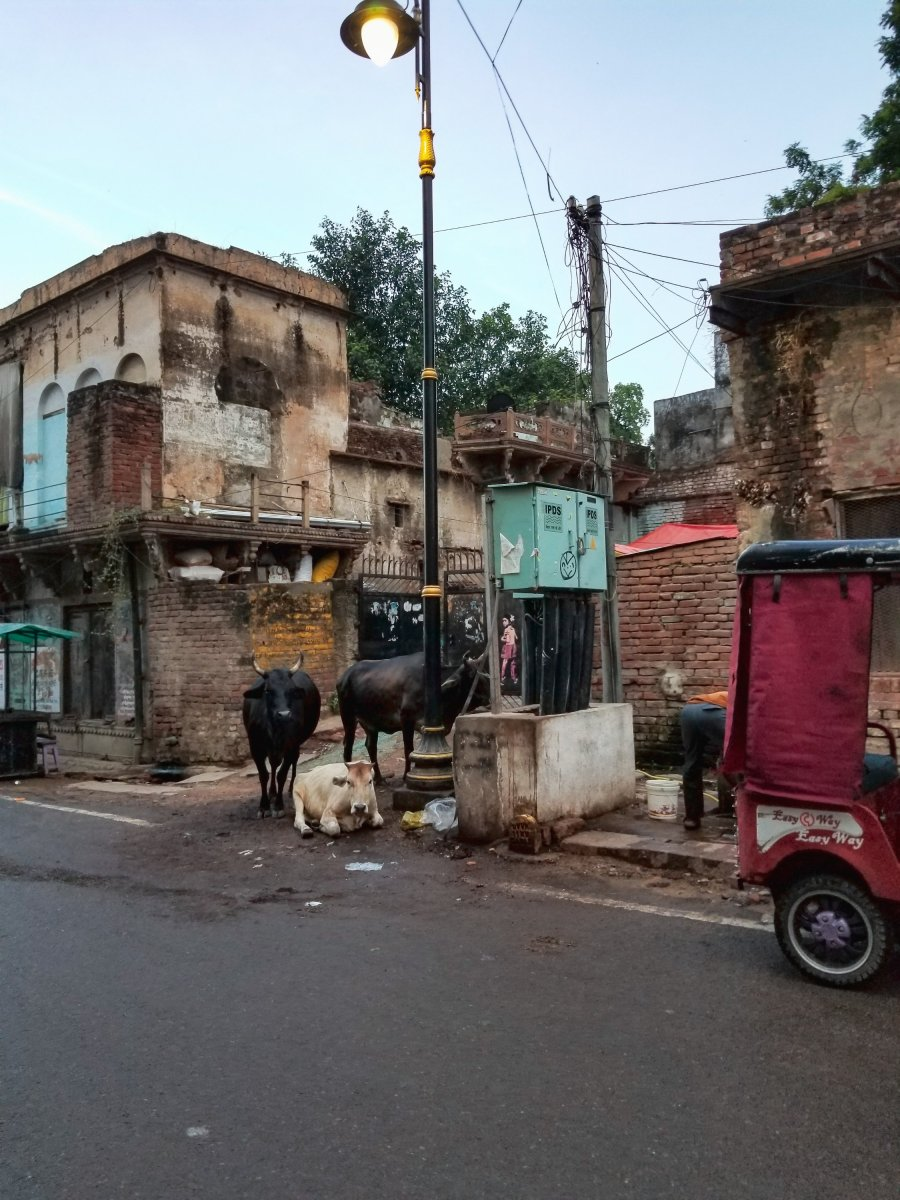 Cows on the street in Varanasi, India