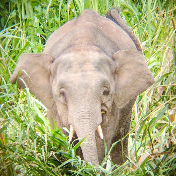 Pygmy elephant along Kinabatangan River