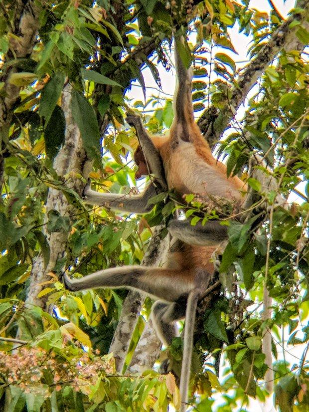 Proboscis females in the treetops Borneo