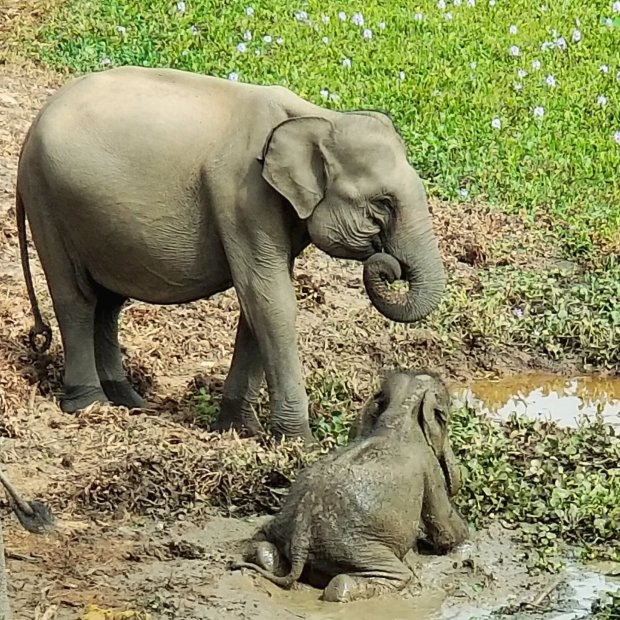 Yala National Park baby elephant safari