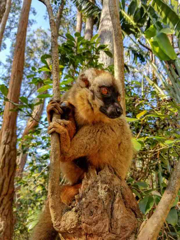 A common brown lemur at Vakona Lemur Island