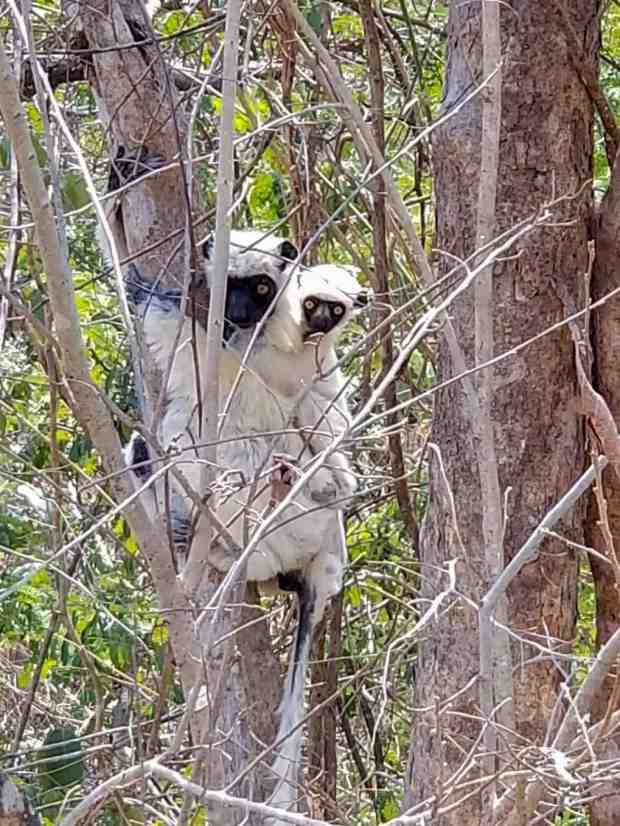 Decken's sifaka lemurs at Tsingy National Park Madagascar
