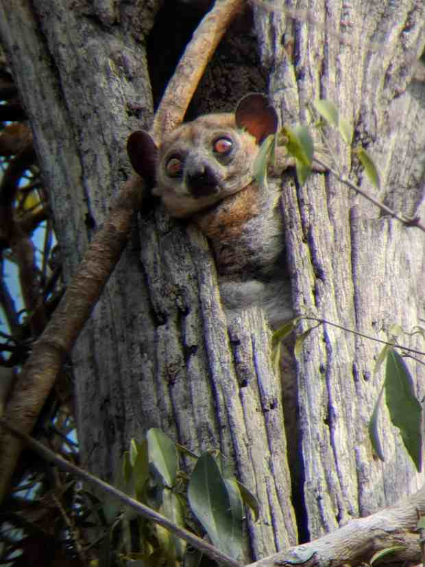 Red tail sportive lemur in Kirindy Forest Madagascar