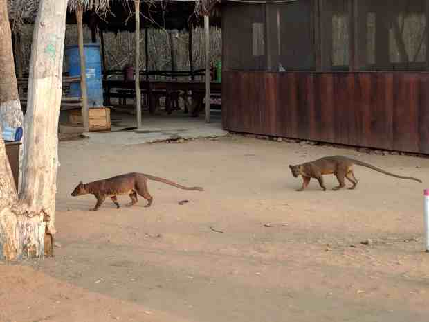 Fossas at Kirindy Forest Madagascar