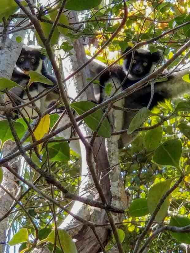 Indri indri lemurs in a tree in Andasibe National Park Madagascar