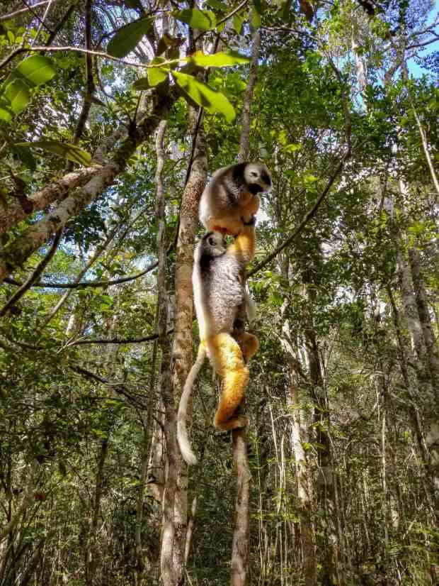 Diademed sifaka lemurs playing in Andasibe National Park