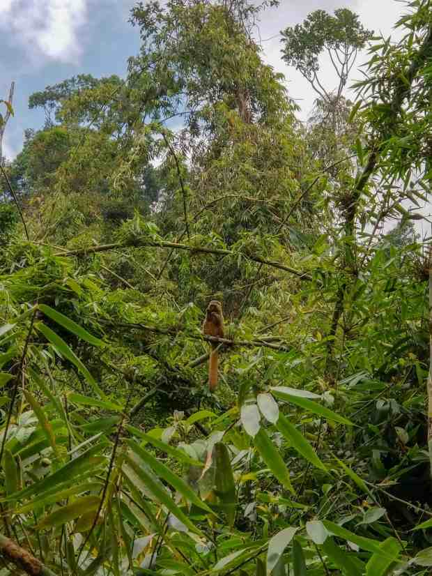 Golden bamboo lemur Ranomafana National Park