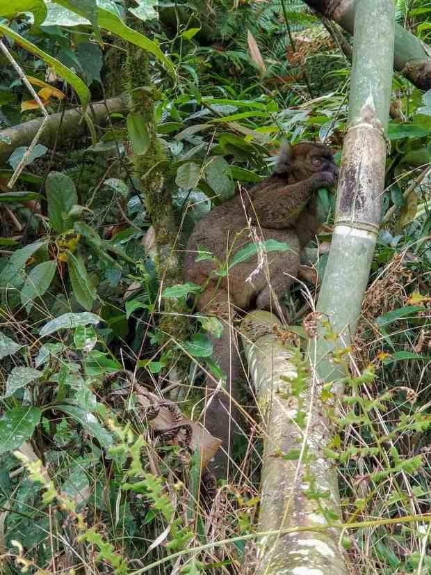 Greater bamboo lemur Ranomafana National Park Madagascar
