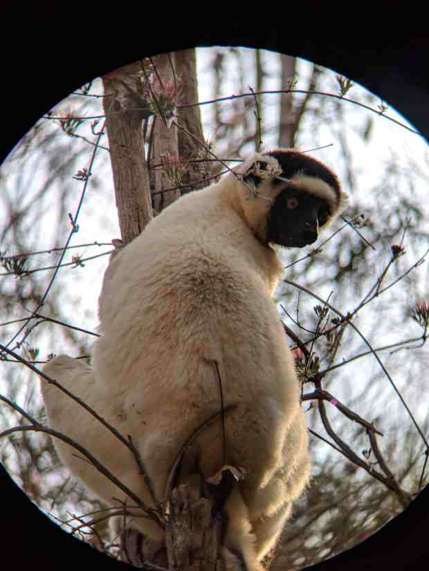 Verreaux's Sifaka in Kirindy Forest Madagascar