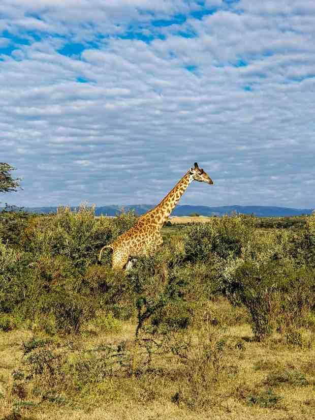 A giraffe at Crater Lake reserve Naivasha Kenya