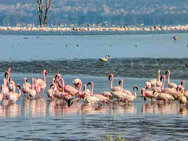Flamingos in lake Nakuru Kenya