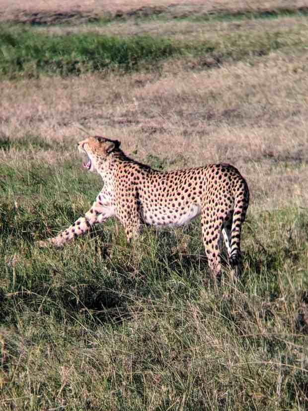 Cheetah on the prowl Masai Mara National Reserve in Kenya