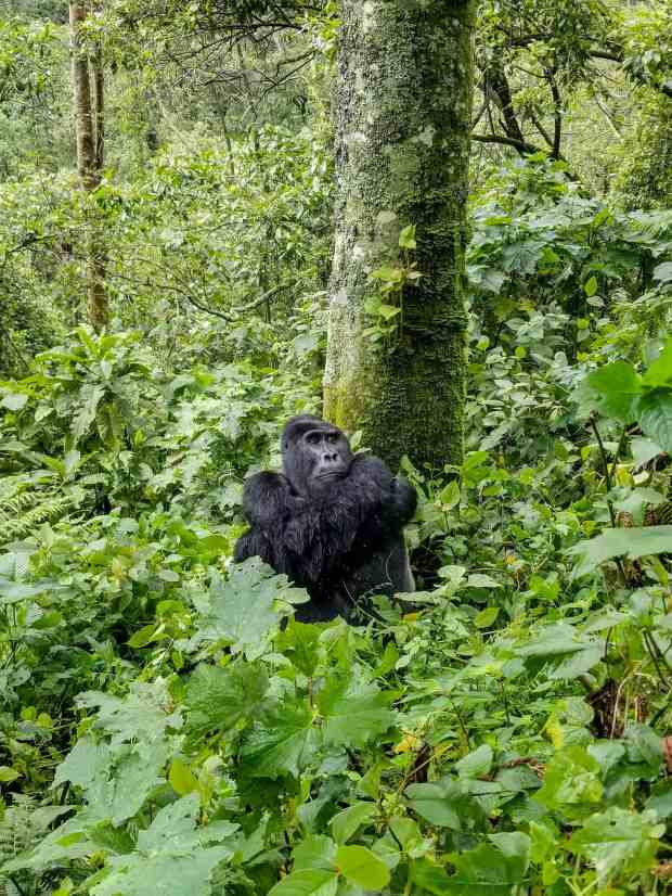 Gorilla trekking in Bwindi Impenetrable Forest in Uganda