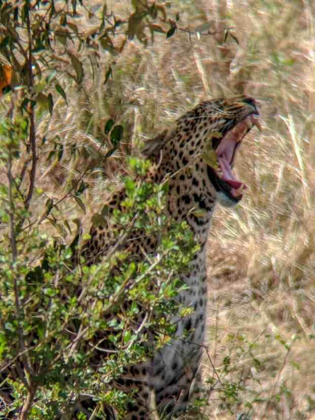 Leopard Masai Mara National Reserve Kenya