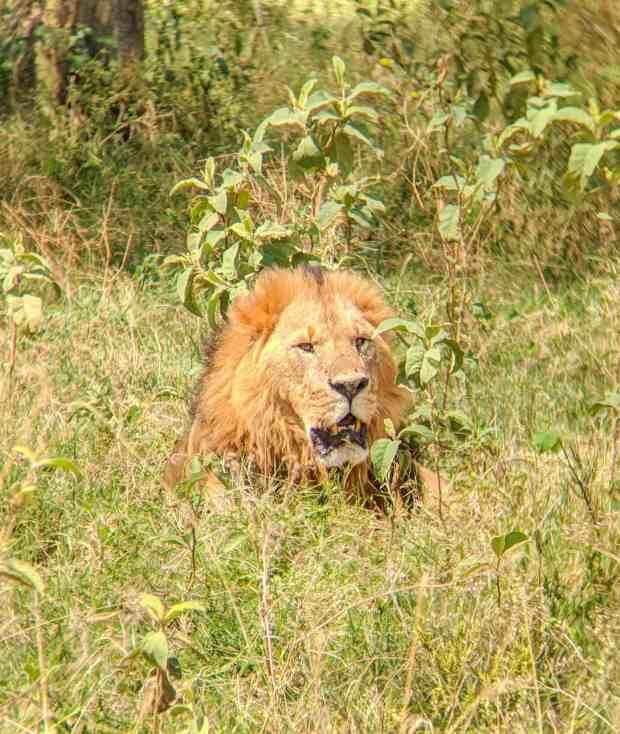 Male lion Nakuru National Park in Kenya