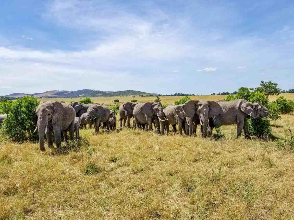 Elephants in the Masai Mara National Reserve in Kenya