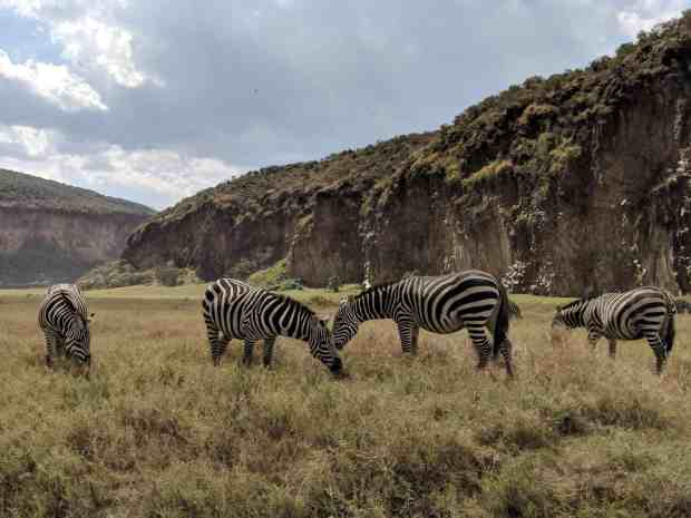 Zebras in Hell's Gate National Park Kenya