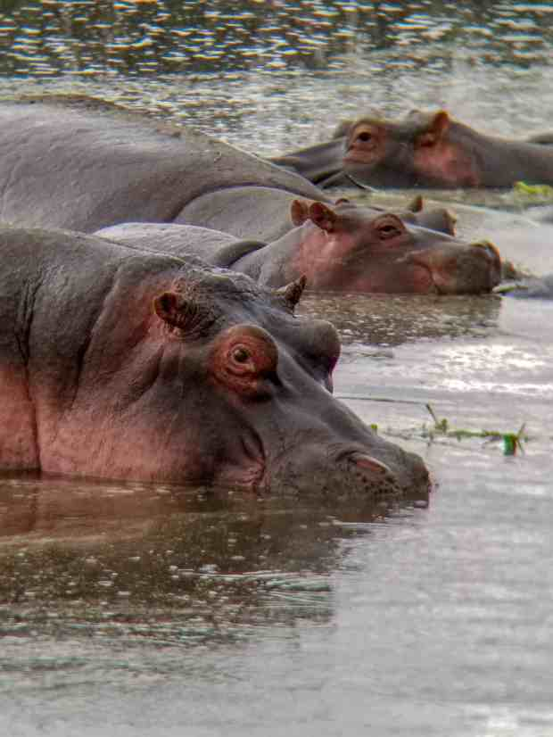 Hippos Ngorongoro Crater Tanzania