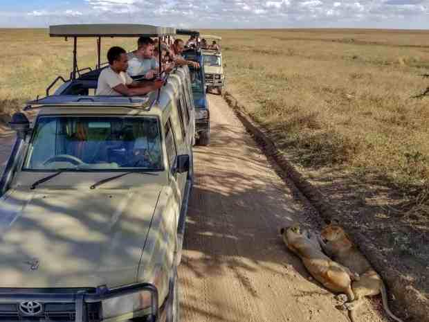 Lions Serengeti National Park Tanzania