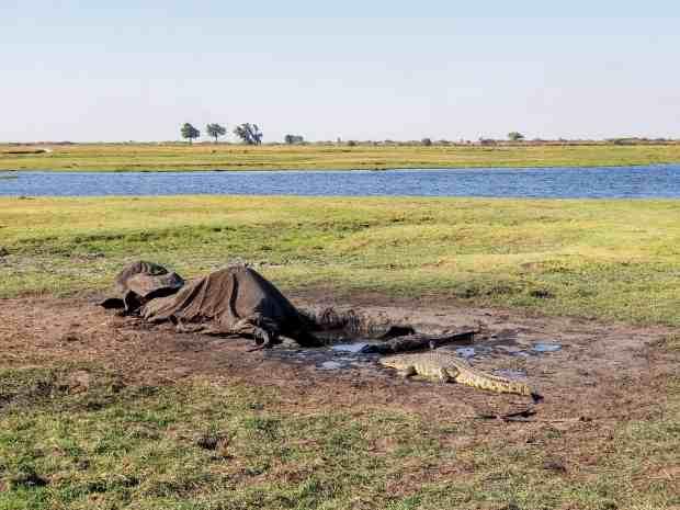Croc eating dead elephant Chobe National park Botswana