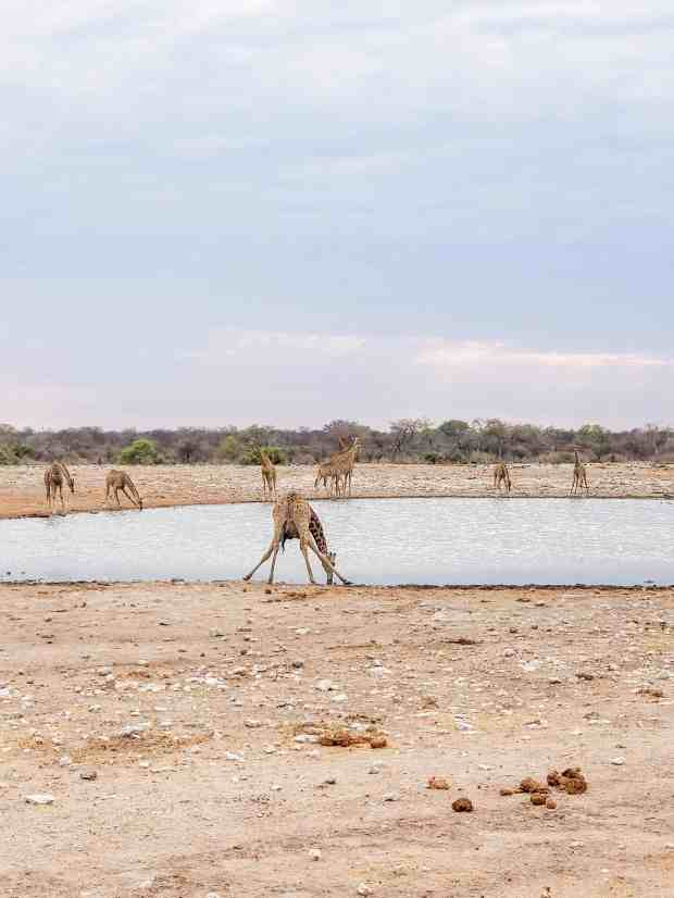 Giraffes drinking water in Etosha National Park Namibia