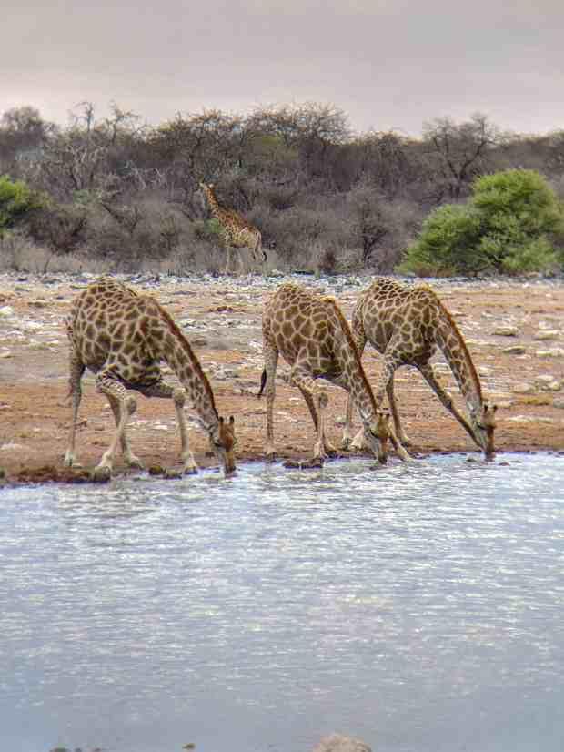 Giraffes drinking water Etosha National Park Namibia