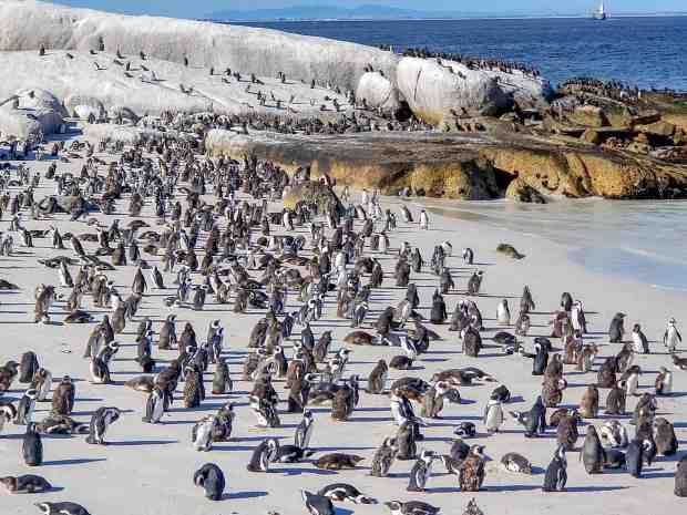 Hundreds of African penguins at Boulders Beach Cape Town South Africa