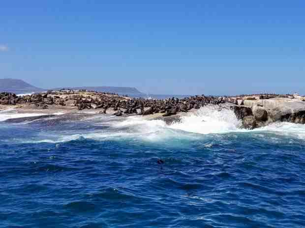 Cape fur seals in Hout Bay, Cape Town, South Africa