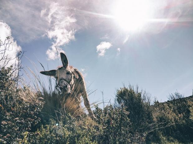 A donkey on Isla del Sol, Bolivia