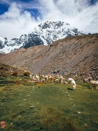 Alpacas on the trail
