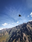 Condor flying over the canyon